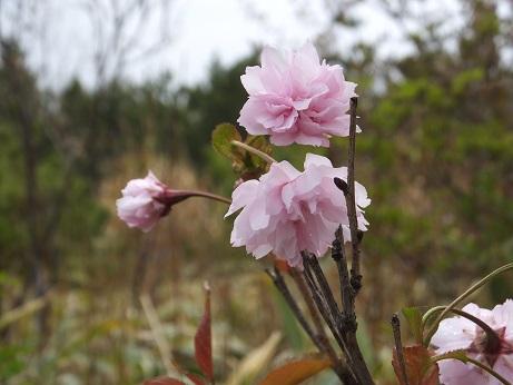 展望台の桜1