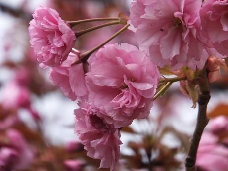 展望台の桜2