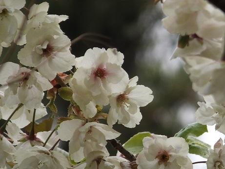 展望台の桜3