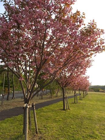 北公園の桜1