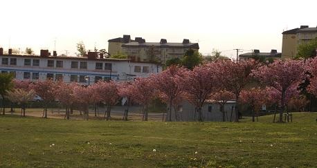 北公園の桜2