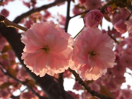 北公園の桜4