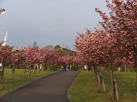 北公園の桜5