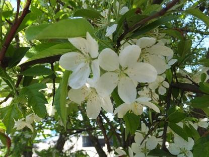 祝津桜まつり6