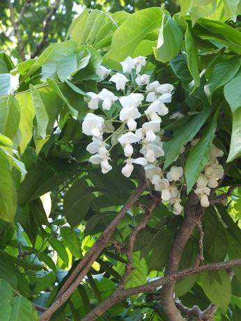 ボラガイ花見4