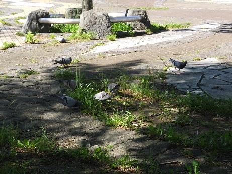 運動公園の鳩