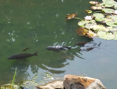 鯉の親子1