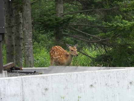 八丁平の鹿1