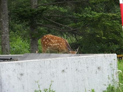 八丁平の鹿2