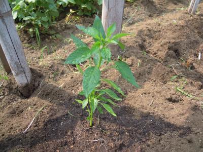 ピーマンの苗も植えました_convert_20140610130338