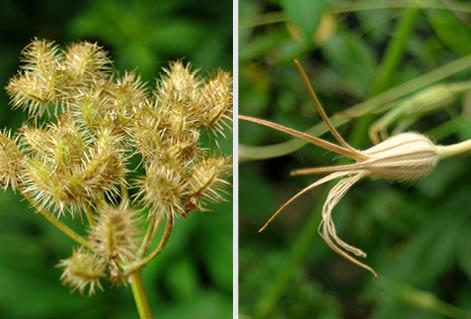 オルラヤとアグロステンマ種