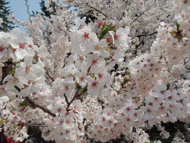H26510桜 136_R
