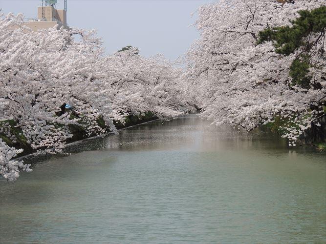 H26510桜 102_R