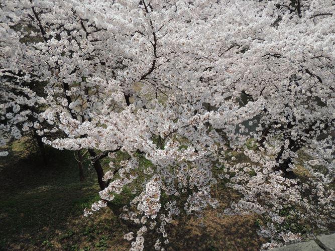 H26510桜 167_R