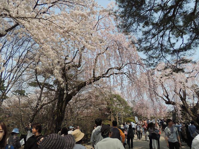 H26510桜 160_R