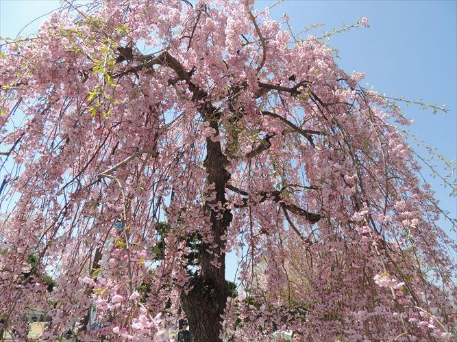 H26510桜 490_R
