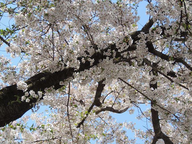 H26510桜 475_R
