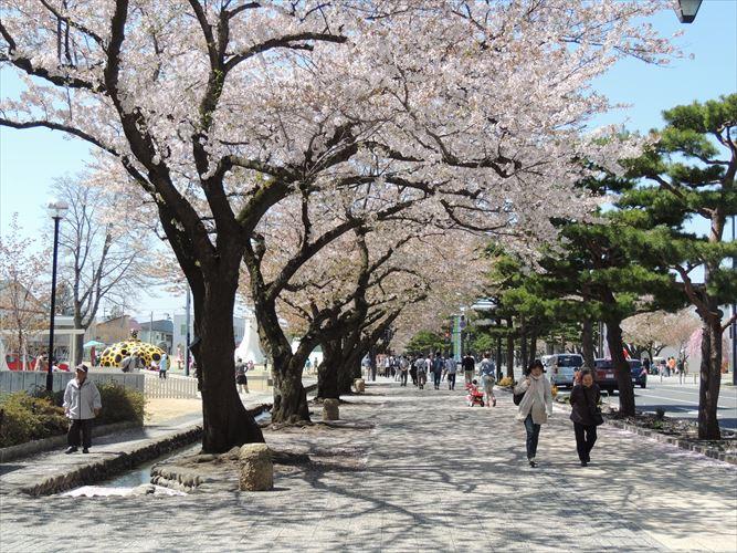 H26510桜 476_R