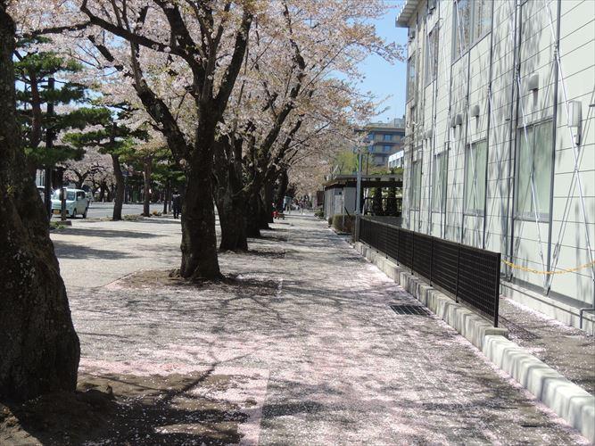 H26510桜 514_R