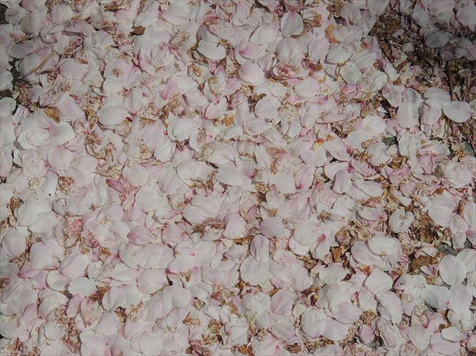 H26510桜 547_R