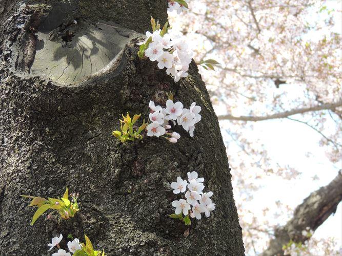 H26510桜 581_R