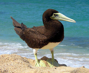 300px-Brown_booby.jpg