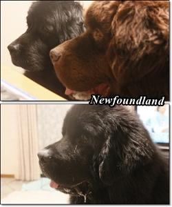 cats Newfoundland Max