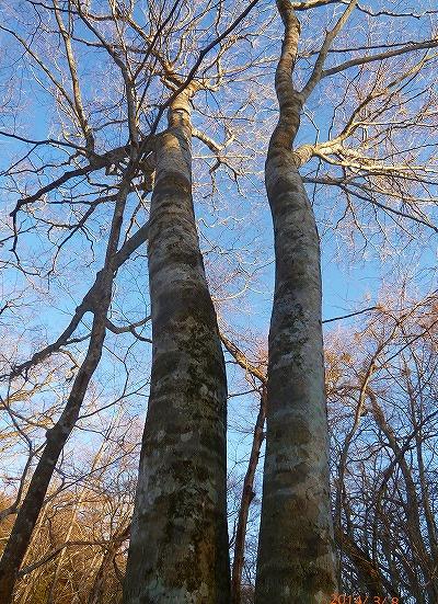 s-逞しい木