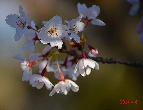 s-桜20140406②