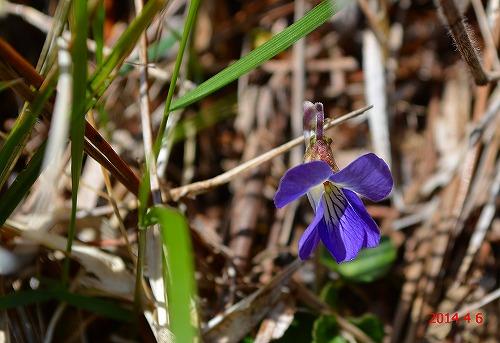 s-紫の花20140406