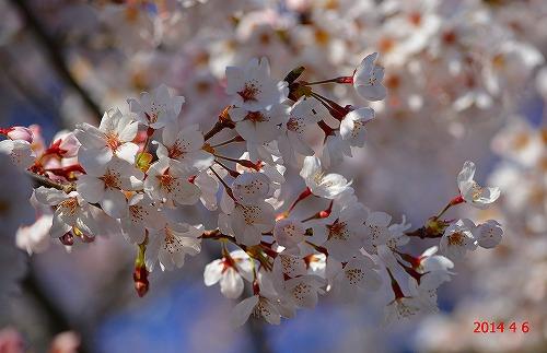 s-20140406桜
