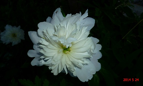 s-白い花20140524