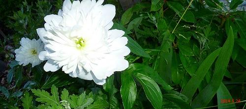 s-白い花の葉は