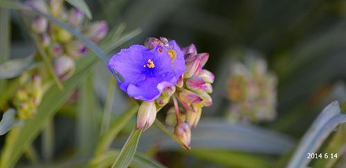 s-紫の花②2014614