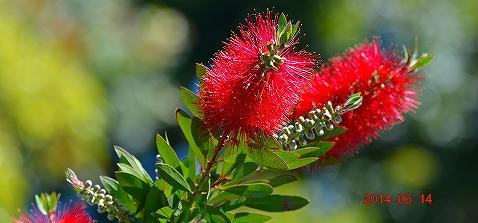s-赤い花20140614
