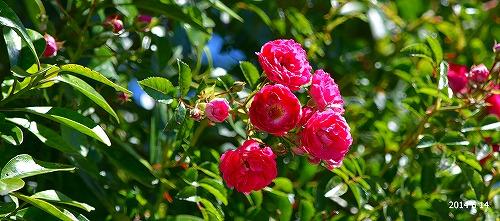 s-赤い花⑥20140614