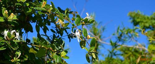 s-白い花20140614