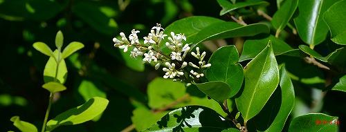 s-白い花②20140614