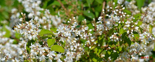 s-白い花④20140614