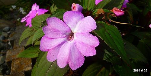 s-紫の花20140629