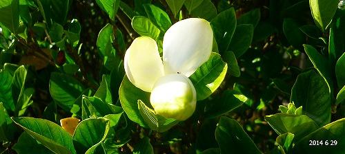 s-白い花20140629