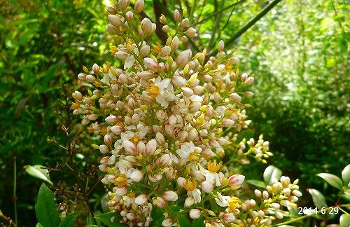 s-白い花②20140629