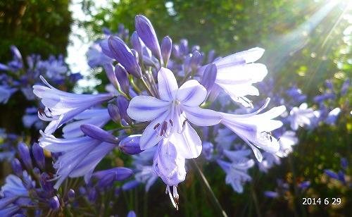 s-薄紫の花20140629