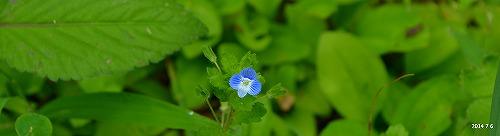 s-青紫の花20140706