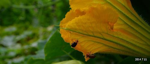 s-南瓜の花と虫20140721