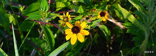 s-黄色い花②20140803