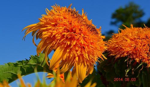 s-黄色い花④20140803