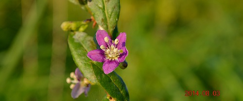 s-紫の花20140803