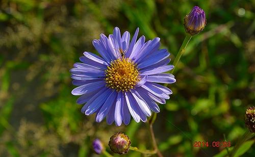 s-紫の花③20140803