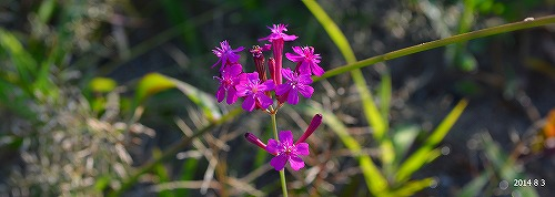 s-紫の花④20140803